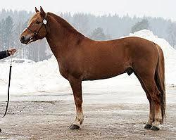 Voisiko hevonen ajatella vaikeammat asiat, kun sillä on isompi pää kuin ihmisellä? Kuva: Wikipedia.