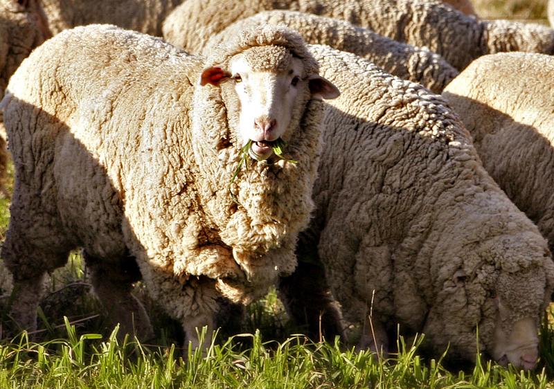 Merino-lampaita. Kuva: Wikipedia.